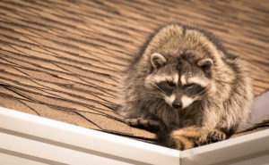 Keeping critters off roof